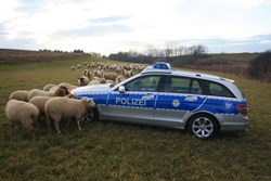 Polizeiwagen in Schafherde